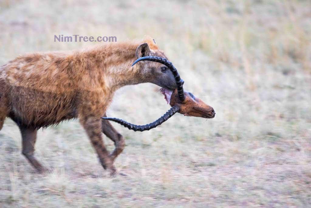 hyena-and-kill