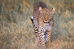 Headon Leopard