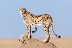 cheetah_withcub