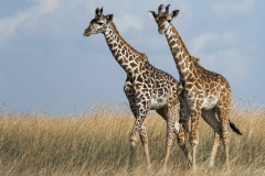 girafee couple
