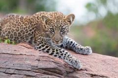 leopard_cub