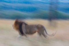 lion-panning_slider