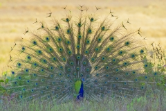 Male peacock displaying to attract females at Kanah national park