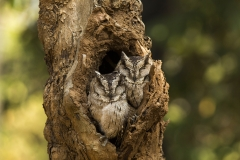 Pair of Owl resting at Tadoba Tiger reserve, Chandrapur