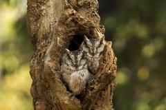 Pair of Owl resting at Tadoba Tiger reserve, Chandrapur