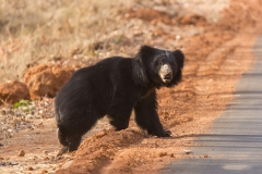 Sloth Bear crossing road at Tadoba Tiger Reserve