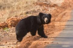 Sloth Bear crossing road at Tadoba Tiger Reserve