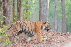 Walking-Tiger-Kanha