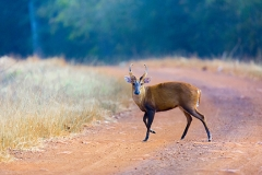 barking_deer