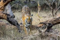 tadoba-tigress