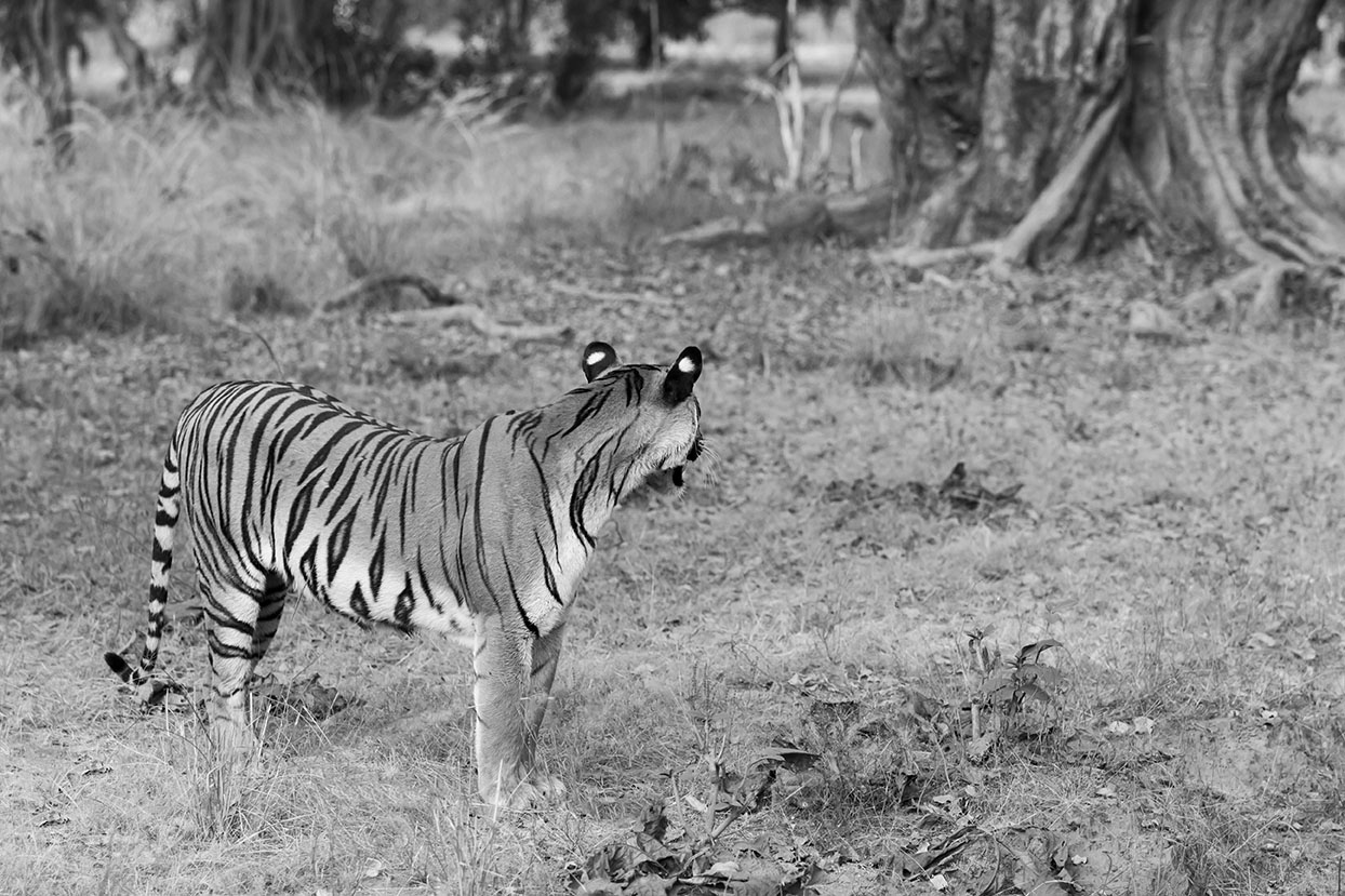 tiger_black_and_white