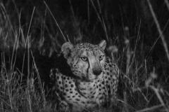 cheetah-night