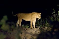 nightgamedrive_lion