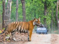 Tiger Photography Safaris India