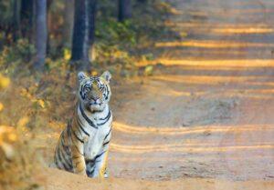 Tiger Photo Safaris India