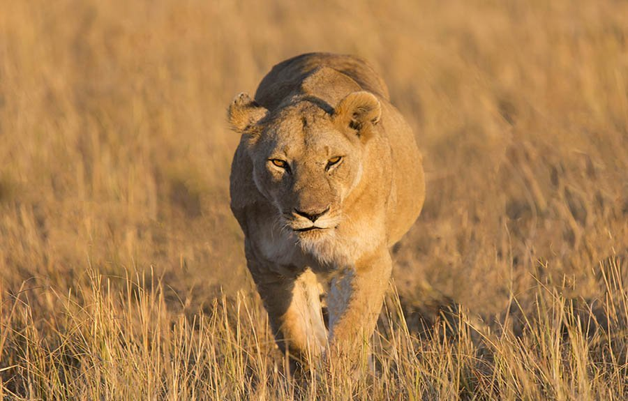 big cat photo safaris