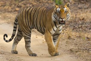 Bandhavgarh-Photo-Safaris-India