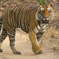 Bandhavgarh-Photo-Safaris-India