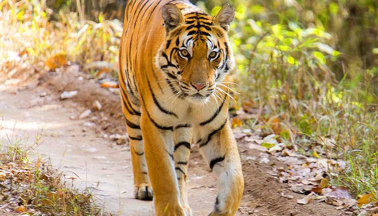 tiger photo safaris