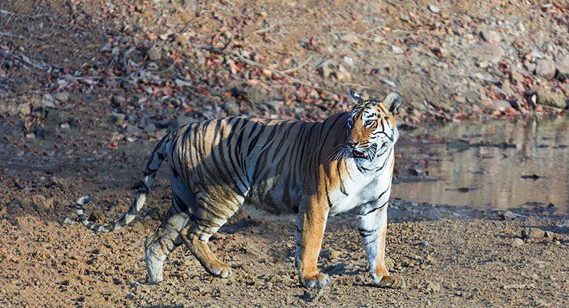 Tiger Photo Tours