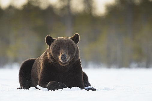 brown bear photo tours finland
