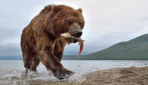 kamchatka bears photo tours