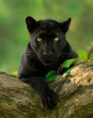 Black Panther Photo Tours