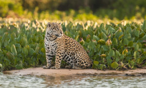 Jaguar photo safaris brazil