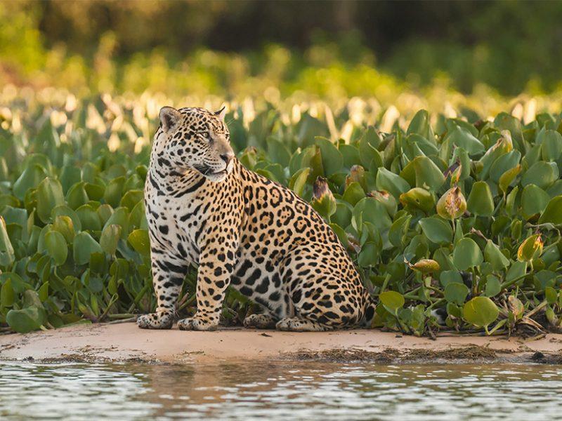 Jaguar photo safaris brazil