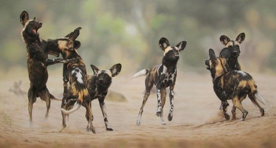 african wild dog photo safaris