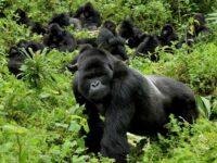gorilla photo tours