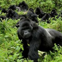 gorilla photo tours