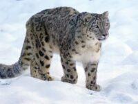 snow leopard photo tours