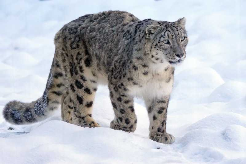 snow leopard photo tours